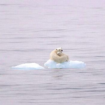 """thestylishgypsy: """" As the polar ice caps retreat, so will these beautiful animals drift away and"""