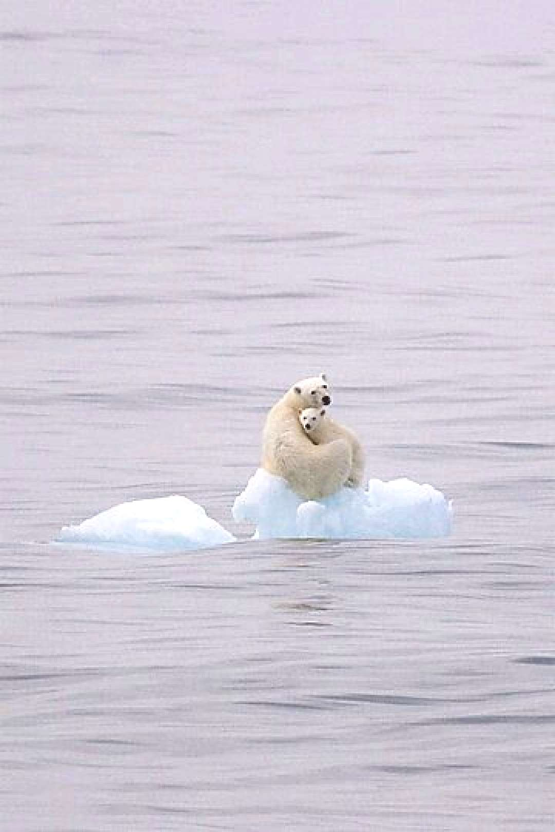 """thestylishgypsy """" As the polar ice caps retreat, so will these beautiful animals drift away and"""